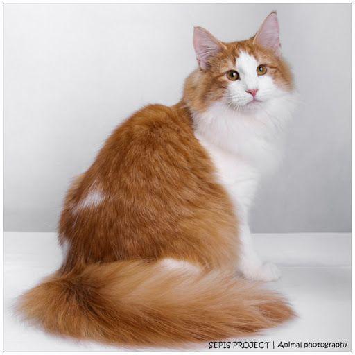 Orange-Norwegian-Forest-Cat-Sitting-Looking-Back.jpg (512 ...