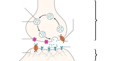An illustrated chemical synapse