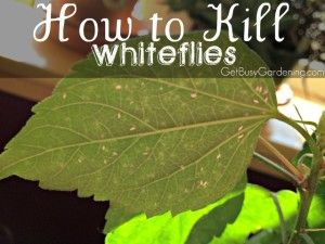 How To Kill Whiteflies