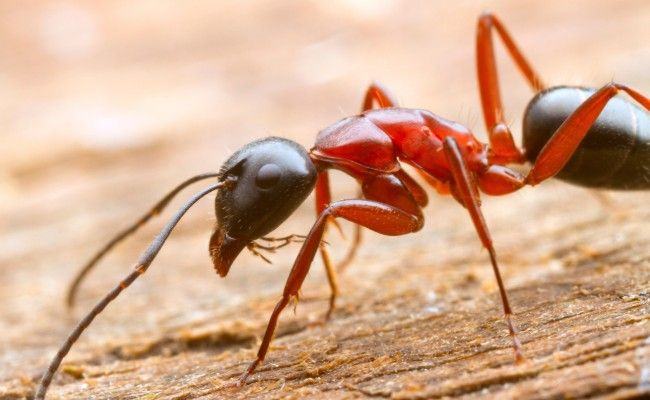 How To Get Rid Of Carpenter Ants Naturally Carpenter Ant Ants