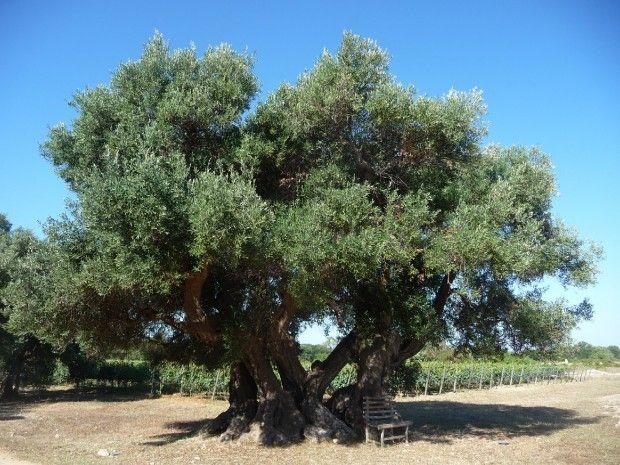Ulivo secolare...campagna Comune di Sava *Ta* Puglia   www.perugiaflowershow.com
