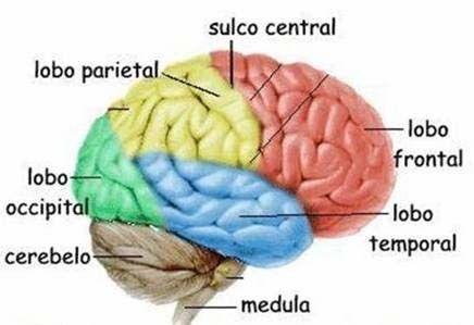 Nosso Sistema Nervoso Central é composto pelo Encéfalo, onde encontramos o cérebro, o tronco encefálico e o cerebelo e também pela medula espinhal.
