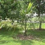II▻★★★ Tipos de palmeras. Variedades de palmeras pinnadas y sin capitel. Género Phoenix. 2.800 variedades de palmeras del género Palmae. Variedades exóticas