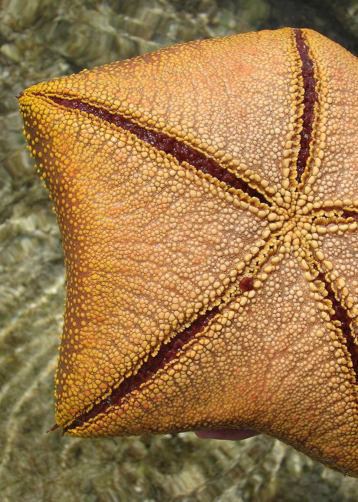 https://flic.kr/p/8ceDT | Sea star: underside | You can see a few of its tiny tube feet beginning to extend themselves  From our reef walk on Wilson Island, Great Barrier Reef, Australia