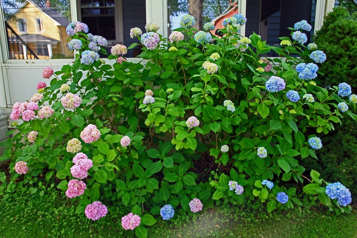 Pruning Hydrangeas By Nikki Phipps (Author of The Bulb-o-licious Garden) Since there are various types of hydrangea bushes, hydrangea pruning instructions may vary slightly with each. Although hydrangea pruning care differs, all hydrangeas can benefit from the removal of dead stems and spent blooms each year. General Hydrangea Pruning Instructions & Deadheading Tips Pruning hydrangea bushes is…