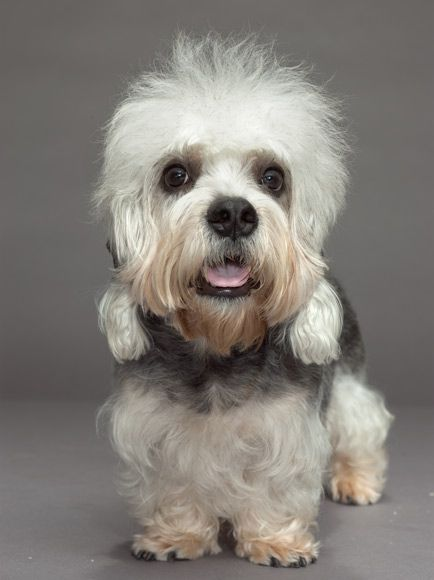 Dandie Dinmont Terrier.  Get a load of those eyes!!