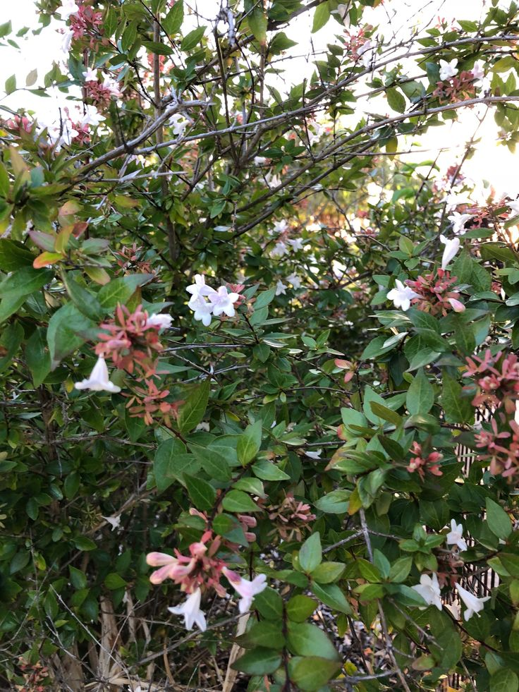 Linnaea x grandiflora syn. Abelia x grandiflora #Flowering #Perth #January