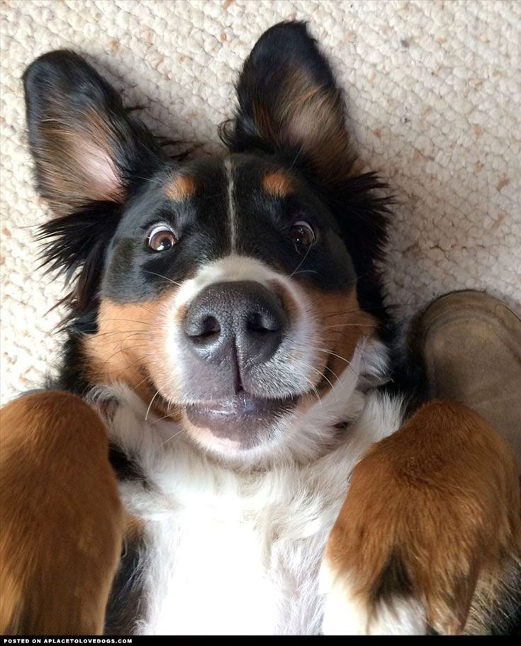 This is the best face for a Bernese Mountain Dog to make! Cutie! #BerneseMountainDog