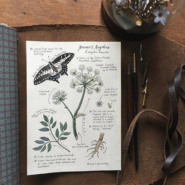 """Brewer's Angelica"" L. Angelica breweri  The genus ""Angelica"" gets its name from the legend of an angel visiting a monk in his dream and revealing the herb as a cure for the plague✨ Custom Journal Page requests can be made on my Etsy (link in profile)  #rivuletpaper"