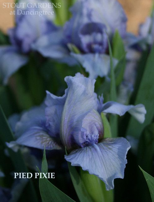 IRIS PIED PIXIE – Stout Gardens at Dancingtree