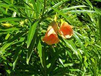 Thévétia du Pérou - La thévétia du Pérou fait partie des plantes toxiques pouvant entraîner le décès de la personne qui en aurait ingéré, elle est aussi utilisée dans certains pays comme plante médicinale dans l'insuffisance cardiaque. La thévétia du Pérou possède un suc laiteux corrosif et caustique pour la p... http://www.complements-alimentaires.co/wp-content/uploads/2015/06/Thévétia-du-Pérou_Thevetia_peruviana.jpg - Par Nathalie sur Compléments