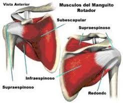 Resultado de imagen para articulacion acromioclavicular