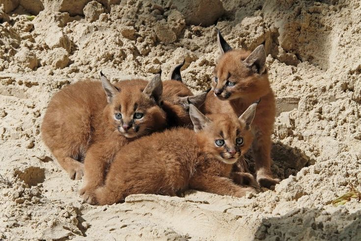 Four fluffy Caracal kittens were born on July 21 at Germany's Zoo Berlin.  The two male and two female cubs, with their rusty-colored coats, bright blue eyes, and long black ear-tips, are now out of the nest box and charming zoo visitors.