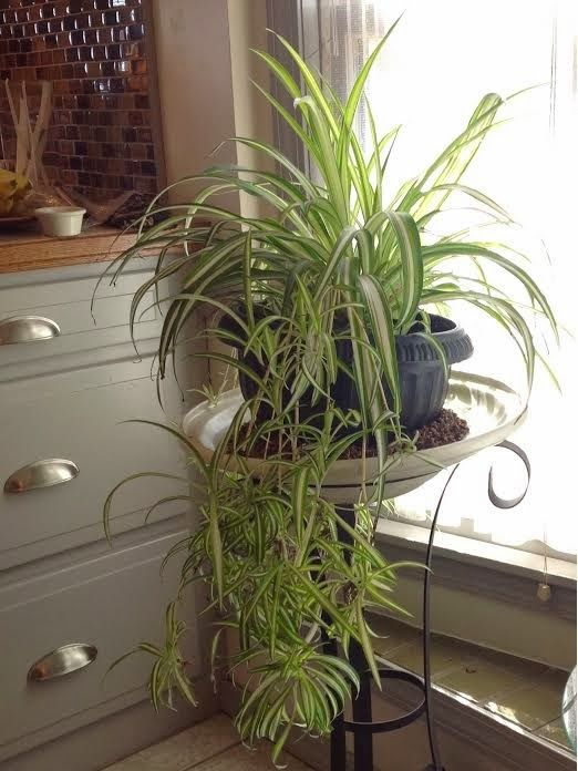 Here's my secret for keeping my  Spider Plant healthy while  inside During Winter