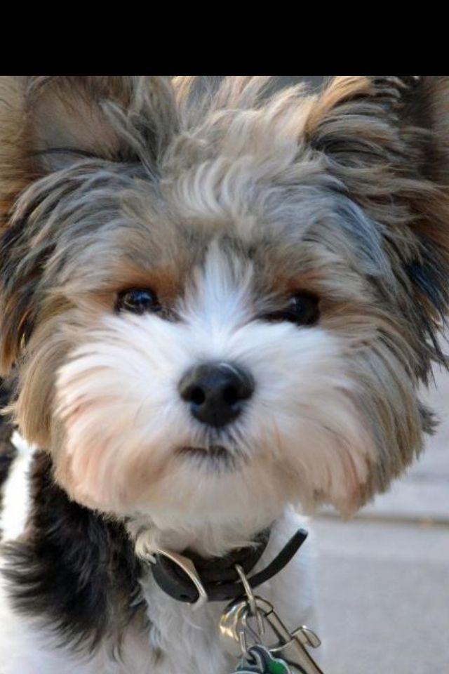 Biewer Terrier,