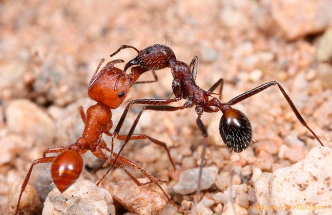 Fotografias macro de intensas lutas fatais de formigas