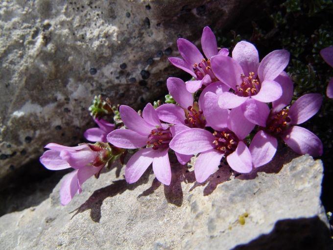 saxifraga oppositifolia   Bloei april- augustus, halfschaduw, 2 tot 6 cm