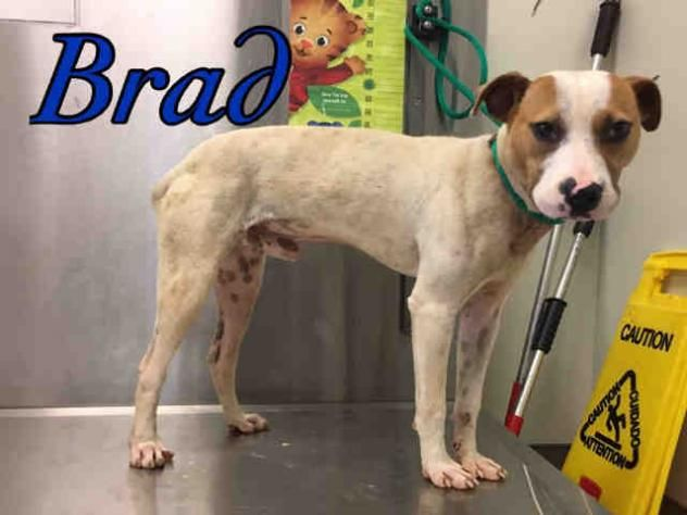 BRAD • Jack Russell Terrier (Parson Russell Terrier) & Pit Bull Terrier Mix • Young • Male • Medium Macon Bibb County Animal Welfare Macon, GA !! !! !! !! !!