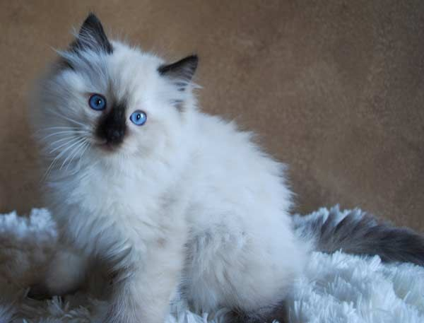 Ragdoll Kittens | Ragdoll Kittens for Sale | Graceful Dolls Ragdoll Cattery