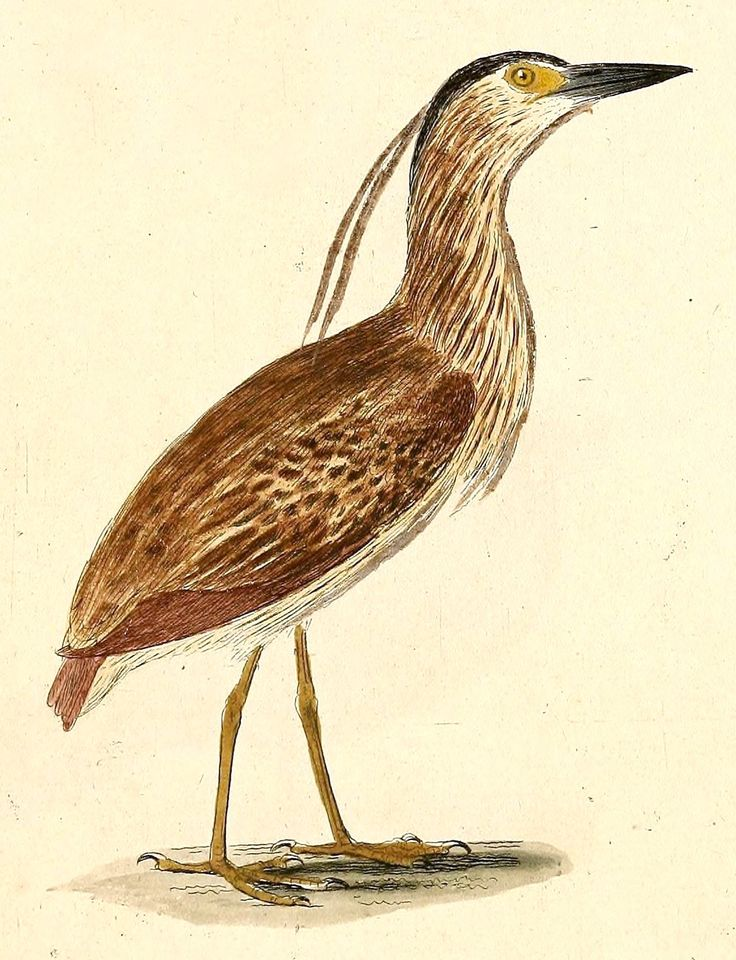 Bonin Nankeen Night Heron (Nycticorax Caledonicus crassirostris) was found on the Bonin Islands, Chichi-jima and Naked-jima in Japan and became extinct in 1889.