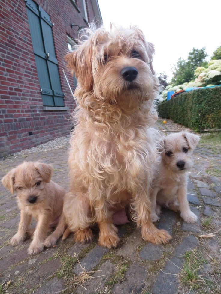 Dutch Smoushond #Dogs #Puppy