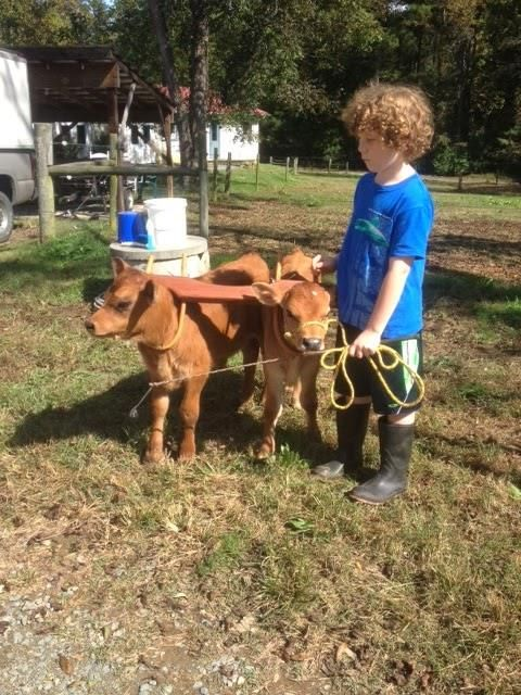 New oxen babies!! Introducing Fi and Asha, born on Sept 25 here at Chapel Hill Creamery. We're hoping that they'll become a future oxen team here on the farm, following in the footsteps (or hoof-steps?) of Breis & Fryer. Here are the babies in Breis & Fryer's very first yoke.