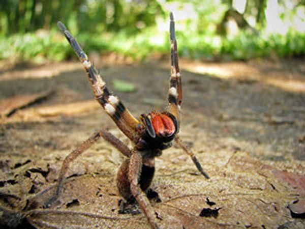 L'araignée Phoneutria Ferra (Araignée Banane) _ Région Tropicales d'Amériques du Sud _ Elle fait partie des 5 araignées les plus dangereuses au monde. Elle peut mesurer jusqu'à 17 cm. Son venin est considéré comme le plus actif : une dose de 0,05 mg de venin peut tuer un homme de 80 kilos.