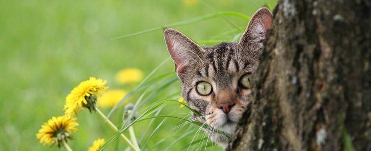 """¿Es bueno dejar su gato al aire libre? Los dueños de mascotas comúnmente plantean la cuestión de si deben permitir que sus gatos se aventuren fuera de la casa. Hay que tener en cuenta que su gato es probable que utilice sus """"siete vidas"""" más rápidamente al aire libre. Como …"""