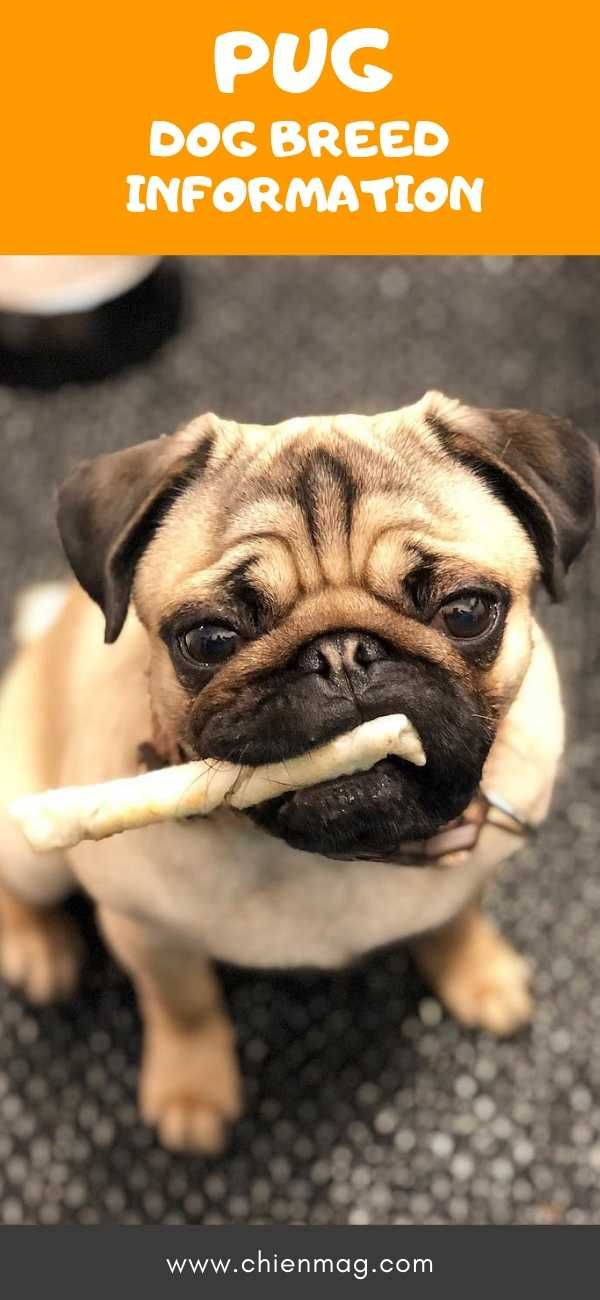 As It Is Known In Different Countries The Pug Is A Very Popular