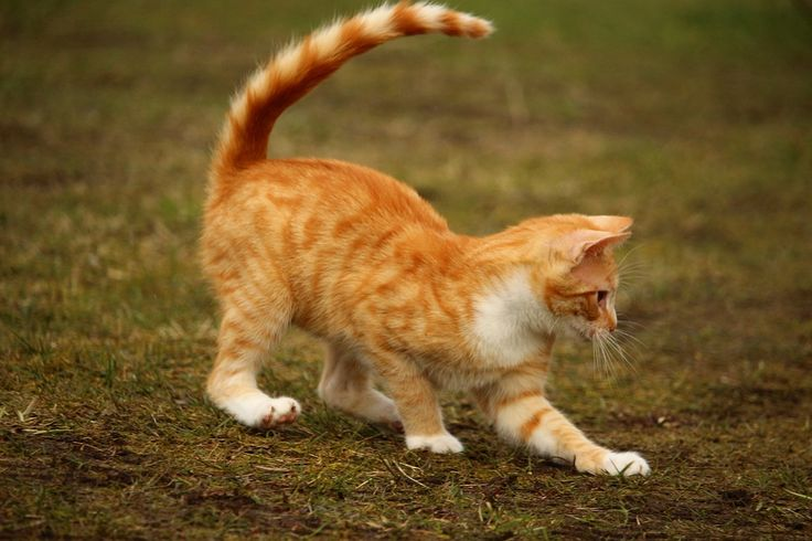 Katze, Rote Katze, Kätzchen, Rotgetigert, Mieze, Spiel