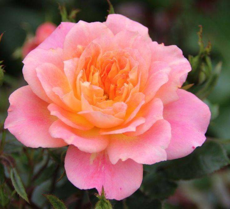 Роза патио сорта Honey Bunch (Хани Банч)  очень красивая роза розово-лососевого цвета с приятным нежным ароматом. Высота куста варьируется от 45 до 60 см. Ширина 45 см.