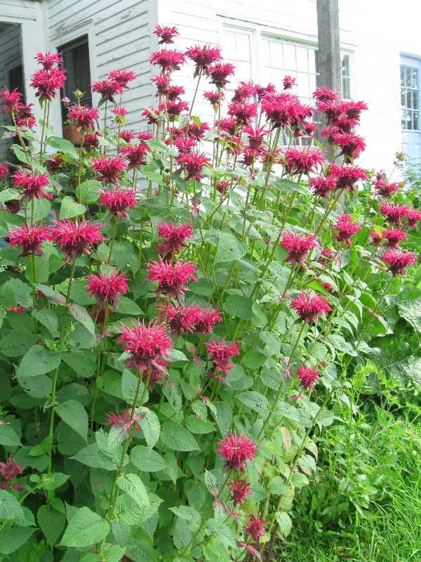 Bee Balm - It grows over 6 feet tall, smells great, self seeds and attracts hummingbirds.