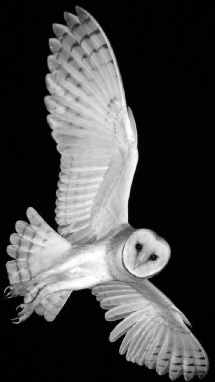 It is a most colorful, skillful, hunter known as Belgian barn owl..RB