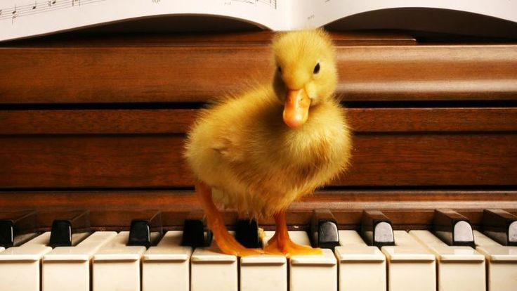 Duck on Piano