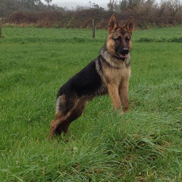 German Shepherd Fan Page - www.gsd-store.com #gsd#germanshepherdsofinstagram #germanshepherdoftheworld #germanshepherd#dog#doggy#instadog #instapic#picoftheday #owczarekniemiecki #pies#k9#big#picoftheday #germanshepherdonline #germanshepherd4life #l4l#like4like #likeforlike #likeme#f4f#followforfollow #follow4follow #followme by germanshepherdfanpage
