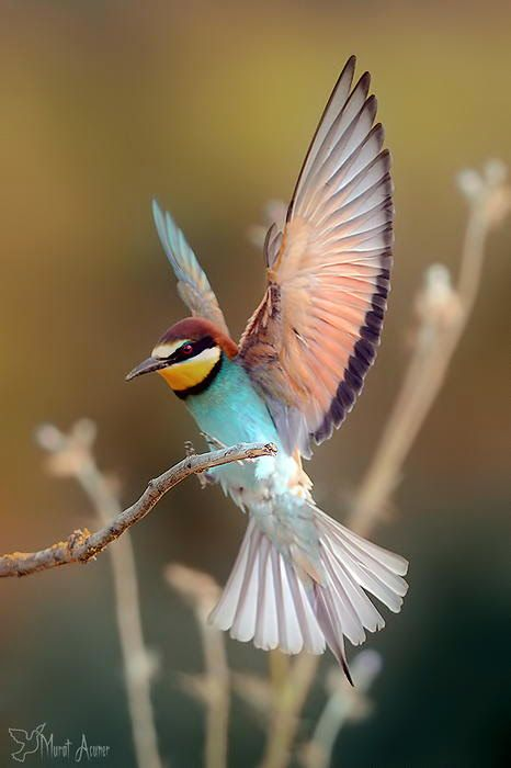 Merops Bird is a large genus of bee-eaters, a group of near passerine birds in the family Meropidae. The members of this Old World family are characterised by richly coloured plumage, slender bodies and usually elongated central tail feathers. Copyright:Murat Acuner