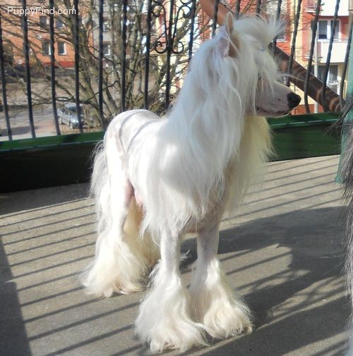 Chinese Crested Pictures (63784631jyz)