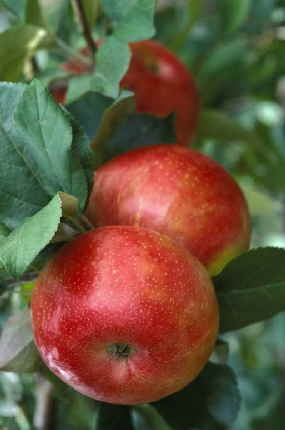 Honeycrisp Apples. The sweetest and crispiest apple you will ever find. My favorite by far!