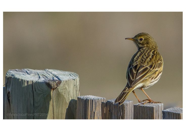 Meadow Pipit - RNLED Nov2013 by francisco pires on 500px «Petinha-dos-prados (Anthus pratensis) Meadow Pipit - RNLED 16Nov2013»