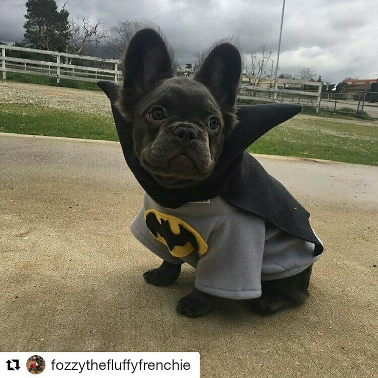 Fozzy in his Batman @froodieshoodies he loves it ! It's keeping him warm on this chilly Cali day !#longhairdontcare #fluffyfrenchie #fluffybaby #fluffydog #fluffy_n_adorable #fluffybluefrenchie #frenchbulldogsofinstagrammyfrenchieloversstagrams_bulldogs.world #fluffybaby #fluffydog #fluffy_n_adorable #fluffybluefrenchie #frenchbulldogsofinstagrammyfrenchieloversstagrams_bulldogs.worldsketch #FroodiesHoodies