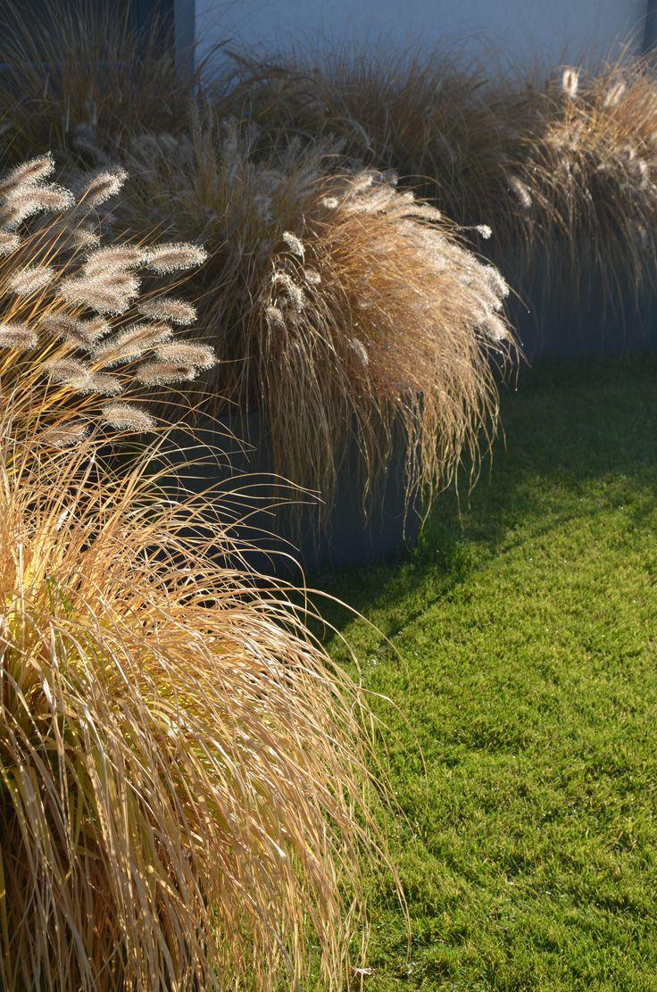 penisetum japonica autumn modern garden malkul
