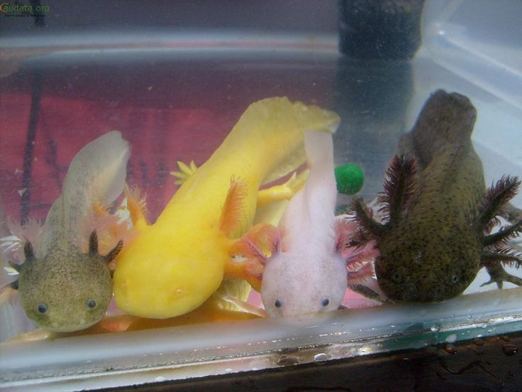 The main 4 colours of axolotls - so adorable! Would love to have an axie one day..