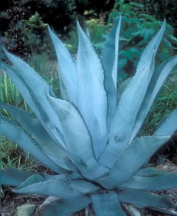 Agave 'Silver Surfer'.  Also known as:  Silver Surfer Century Plant