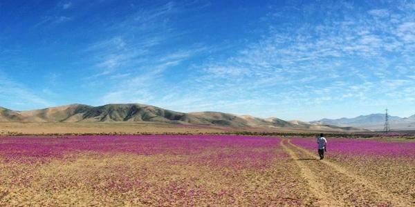 fioritura nel deserto di Atacama