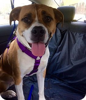 Manassas, VA - Boxer/Beagle Mix. Meet Whiskey, a dog for adoption. http://www.adoptapet.com/pet/17863946-manassas-virginia-boxer-mix