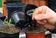 #Tomaten pikieren Teil 1: Dazu wird ein Skalpell verwendet o. ein spezieller Pikierstab, der aber auch durch einen Kugelschreiber ersetzt werden kann. Dann sollte aber die Mine entfernt werden, damit keine giftige Tinte an die Pflanzen gelangen kann. Von der Aussaat bis zum Pikieren vergehen rund 3 Wochen. Der richtige Zeitpunkt zum Tomatenpikieren ist gekommen, wenn das erste richtige Blattpaar ausgebildet ist. 2 - 3 h vor dem Pikieren sollten die Pflanzen gut gegossen werden.
