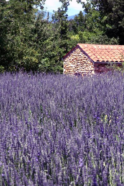 French lavender ~ I've always loved lavender, such a beautiful plant. And it smells devine. Love cooking with it too.