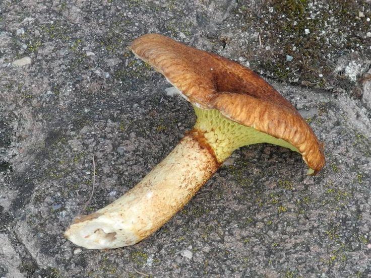 Hohlfußröhrling - http://selbstbewusstgesund.de/ernaehrung/pilze/pilze-5-essbare-pilze-erklaerungen-und-bilder-2/#more-3551