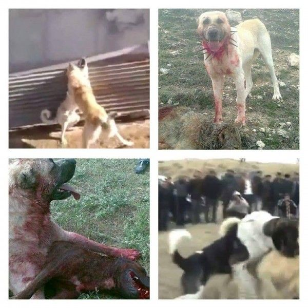 Mafia And Authorities Involved In Dog Fights In Turkey For Profit! Put a Stop To Dog Fights In Turkey! | PetitionHub.org
