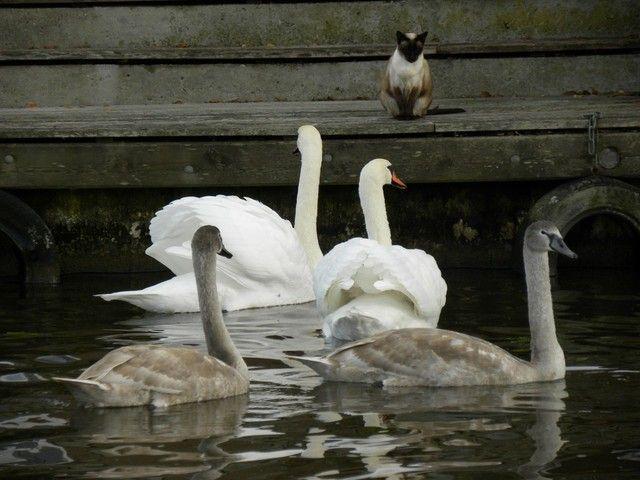 Leeuwarden, Netherlands (zwanen die hun jongen beschermen tegen een) - a photo by Wietske